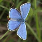 common blue butterfly image